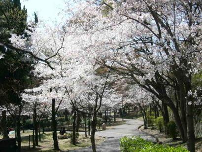 西神中央公園 桜まつり