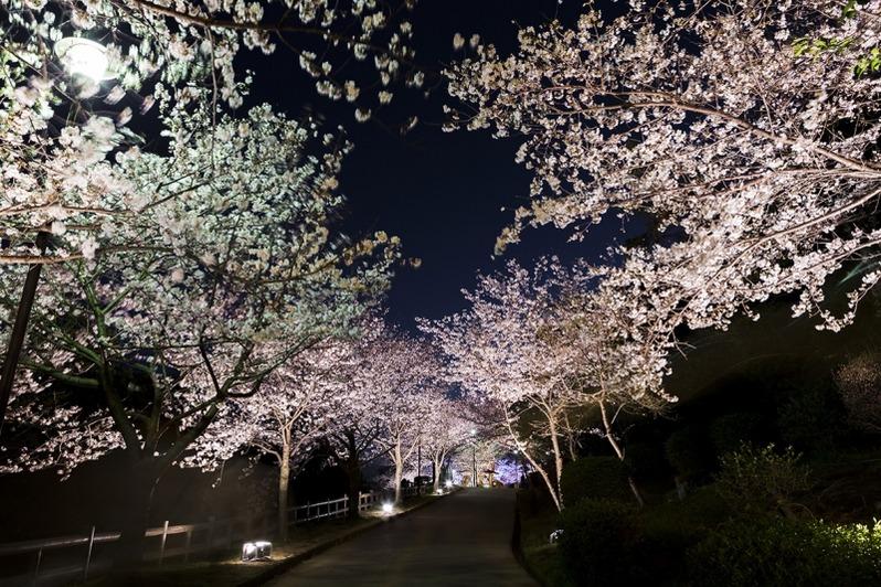 敦盛桜2017