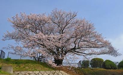 奥平野舞桜